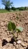 Levée de haricots verts