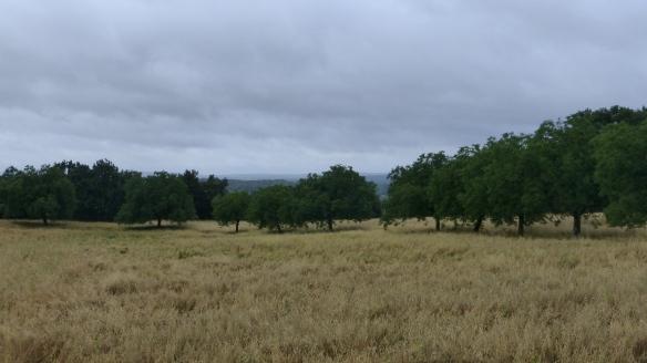 Un champs d'avoine entourée de ses noyers