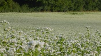 Le sarrasin en fleur