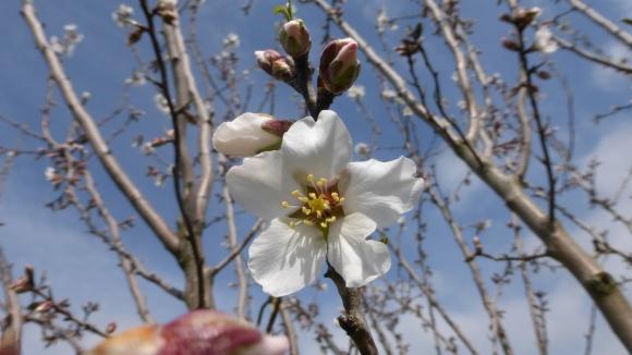 Les premières fleurs: l'amandier!