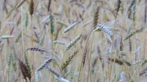 Les couleurs des blés