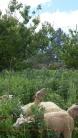 Les brebis écrasent l'engrais vert et se régalent au passage